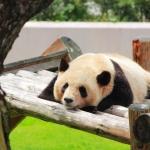 【夢占い】夢でパンダと戯れる!? 動物の夢に隠された意味8選